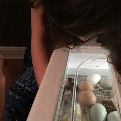 Still watching eggs hatch while a couple of newbies stumble around the incubator!